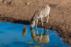Zebra Calf Water Mirror  Stock Photos
