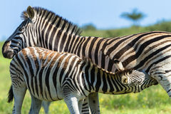 Zebra Calf Wildlife Stock Photo