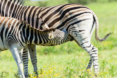 Zebra Calf Wildlife Stock Image