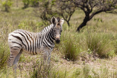 Zebra Calf Royalty Free Stock Photos