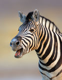 Zebra calling. Close-up of a Zebra barking with open mouth Royalty Free Stock Photography
