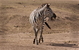 Zebra calling out. Zebra in Masai Mara calling out Royalty Free Stock Image