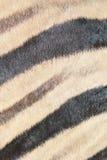 Zebra - cammuffamento in bianco e nero Fotografie Stock