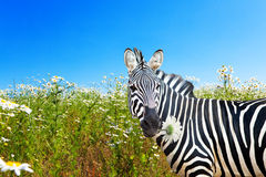 Zebra with a camomile in a mouth royalty free stock images