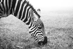 Stripes zebra black and white. A zebra snuck into our campsite last night to eat our grass Royalty Free Stock Photo
