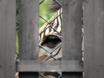 Zebra in captivity at zoo. Zebra behind a fence at zoological garden Royalty Free Stock Images