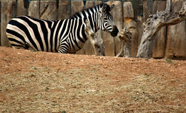 Zebra. Captured  in the zoo Royalty Free Stock Photography