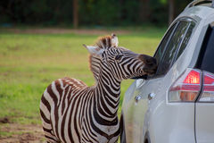Zebra and car. Zebra staring through the windshield of a car with curiosity Stock Photos