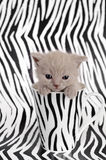 Zebra cat Stock Images