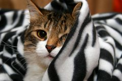 Zebra-Cat. Cat in zebra color blanket Royalty Free Stock Images