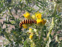 Zebra Caterpillar on Ragwort. The stingy hairs of the Zebra Caterpillar are visible while eating from the for animals toxic Ragwort plant Stock Image