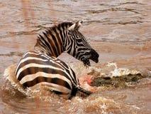 Crocodile catching a zebra Royalty Free Stock Image