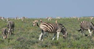 Zebra in cespuglio africano, fauna selvatica dell'Africa archivi video