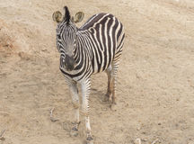 Zebra Chapman, Equus Burchelli Chapmani Royalty Free Stock Photography