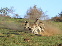 Zebra chase. Stock Photo
