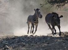 Zebra chases Another Zebra in a Dusty field Royalty Free Stock Photo