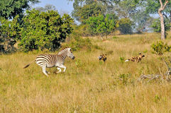 Zebra chasing Wild Dogs. Brave Zebra chases off a hunting apck of Wild DogsWild Dogs in the early morning Light starting a hunt royalty free stock photos