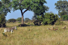 Zebra chasing Wild Dogs. Brave Zebra chases off a hunting apck of Wild DogsWild Dogs in the early morning Light starting a hunt stock images