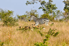 Zebra chasing Wild Dogs. Brave Zebra chases off a hunting apck of Wild DogsWild Dogs in the early morning Light starting a hunt royalty free stock photo