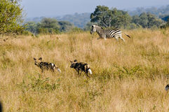 Zebra chasing Wild Dogs. Brave Zebra chases off a hunting apck of Wild DogsWild Dogs in the early morning Light starting a hunt stock photos