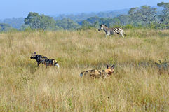 Zebra chasing Wild Dogs Stock Photo