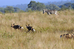 Zebra chasing Wild Dogs Royalty Free Stock Photos