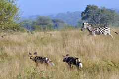 Zebra chasing Wild Dogs. Brave Zebra chases off a hunting apck of Wild DogsWild Dogs in the early morning Light starting a hunt royalty free stock image
