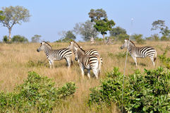 Zebra chasing Wild Dogs. Brave Zebra chases off a hunting apck of Wild DogsWild Dogs in the early morning Light starting a hunt stock photo