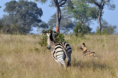 Zebra chasing Wild Dogs. Wild dogs going on a hunt in the early morning sunlight. Spot a lone Zebra. The Zebra is joined by other Zebras and the chase the Wild royalty free stock photo