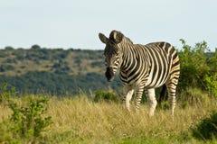 Zebra che cammina attraverso l'erba asciutta Fotografia Stock