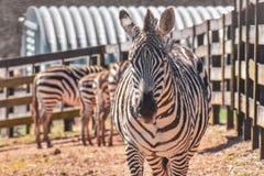 Zebra che cammina da un gregge fotografie stock
