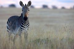 Zebra che esamina macchina fotografica Fotografia Stock