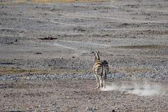 Zebra che esegue e che fa il parco nazionale di Etosha della mosca della polvere Fotografia Stock