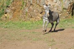Zebra che funziona liberamente Fotografia Stock