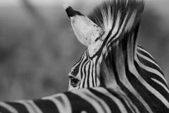 Zebra che guarda indietro fotografia stock libera da diritti