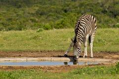 Zebra che ha una bevanda Fotografie Stock Libere da Diritti