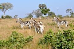 Zebra che insegue i cani selvaggi Fotografia Stock