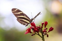 Zebra che longwing feedi tropicale della farfalla di charitonius di Heliconius Immagini Stock