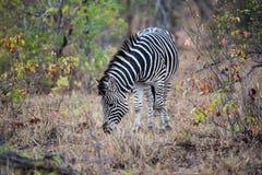 Zebra che mangia erba nel flield Immagine Stock Libera da Diritti