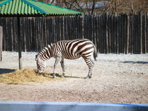 Zebra che mangia fieno in una tettoia allo zoo Immagine Stock