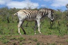 Zebra che monta la sua coda Fotografie Stock