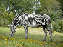 Zebra che pasce Immagine Stock Libera da Diritti