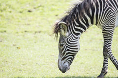 Zebra che pasce fotografia stock libera da diritti