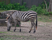 Zebra che pasce Fotografia Stock