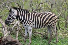Zebra che pasce Immagini Stock