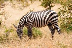 Zebra che pasce nel Kenia in savanna Fotografia Stock Libera da Diritti