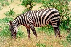 Zebra che pasce nel Kenia in savanna Fotografia Stock