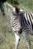 Zebra che pasce fotografie stock