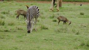 Zebra che pasce su un'erba archivi video