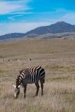 Zebra che pasce sul pascolo vicino a San Simeon immagine stock